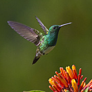 Red Flowers Photos - Snowy-bellied Hummingbird by Heiko Koehrer-Wagner