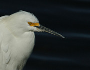 White Birds Photos - Snowy Egret by Ernie Echols