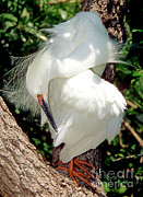 Breeding Posters - Snowy Egret In Breeding Plumage Poster by Millard H. Sharp