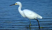 Snowy Egret Originals - Snowy Egret by Rob Andrus