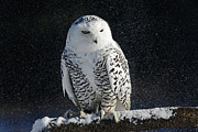 Snowy Night Prints - Snowy Owl on a Twilight Winter Night Print by Inspired Nature Photography By Shelley Myke