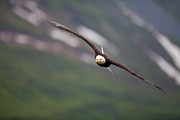 National Symbol Photos - Soaring Bald Eagle by Tim Grams