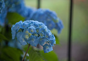 Hydrangea Framed Prints - Soft Blue Hydrangea Framed Print by Mike Reid