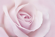 Soft Pink Posters - Softness of a Pink Rose Flower Poster by Jennie Marie Schell