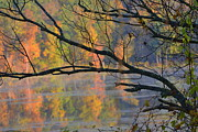 Fall Foliage Photos - Songster on the Lake by Deborah Bifulco