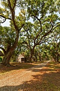 Evergreen Plantation Prints - Southern Lane Print by Steve Harrington
