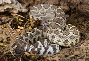 Southern Pacific Rattlesnake. Print by John Bell