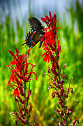 Spicebush Swallowtail Posters - Spicebush Swallowtail on Cardinal Flower Poster by Thomas R Fletcher