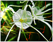 Therese Alcorn - Spider Lily