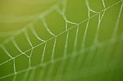 Predaceous Prints - Spider web with dew drops  Print by Jim Corwin