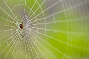 Close Focus Nature Scene Prints - Spider web with dew drops with spider on web Print by Jim Corwin