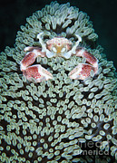 Thor Prints - Spotted Porcelain Crab In Anemone Print by Steve Jones