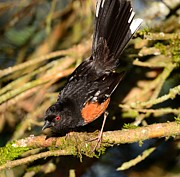 Kathy King - Spotted Towhee