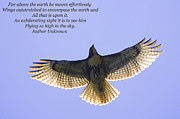 Red Tail Hawk Photo Posters - Spreading Her Wings Poster by Linda Segerson