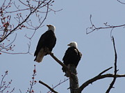 Daniel Henning Metal Prints - Spring Bald Eagles 2013 XIV Metal Print by Daniel Henning