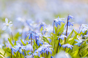 Perennial Metal Prints - Spring blue flowers glory-of-the-snow Metal Print by Elena Elisseeva