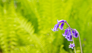 Woodland Violet Photos - Spring bluebells growing in English countryside by Fizzy Image