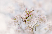 Cherry Art Prints - Spring Cherry Blossom Print by Jacky Parker