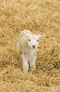 Ovine Framed Prints - Spring lamb Framed Print by Steev Stamford