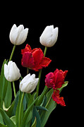 Jane Mcilroy Metal Prints - Spring Tulips Metal Print by Jane McIlroy