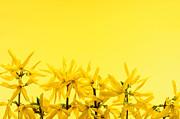 Spring Yellow Forsythia  Print by Elena Elisseeva