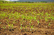 Tim Hester - Sprouting Corn Crop