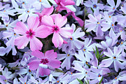 Purple Phlox Framed Prints - Standing Out Framed Print by JC Findley