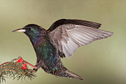Gerry Sibell - Stanley the Starling