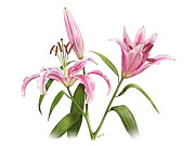 Oriental Tiger Digital Art - Stargazer Oriental Lily by Artellus Artworks
