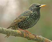 A Gurmankin - Starling on a Tree...