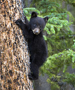 Black Bear Climbing Tree Posters - Stuck Poster by Nancy J Wagner Photography
