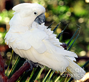 White Cockatoo Photos - Sulfur-crested Cockatoo by Millard H. Sharp
