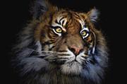 Sheila Smart - Sumatran tiger