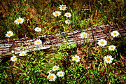 Painted Wood Prints - Summer Flowers on the Blue Ridge Parkway 7653 Print by Dan Carmichael