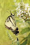 Papilionidae Prints - Summer Grace Print by Darren Fisher