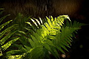 Fern Prints - Summer rain Print by Jane Rix