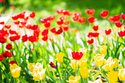 Featured Art Posters - Sun Drenched Tulips - Featured 3 Poster by Alexander Senin