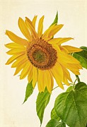 On White Posters - Sunflower Poster by Edward Fielding