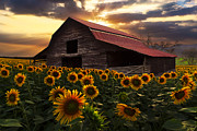 Red Roof Photo Posters - Sunflower Farm Poster by Debra and Dave Vanderlaan