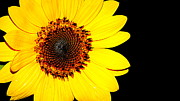 Paul  Wilford - Sunflower Macro