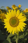 Featured Framed Prints - Sunflower Framed Print by Michael Thornton