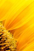 Mythja  Photography - Sunflower petals