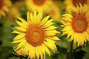 Provence Photos - Sunflowers by Brian Jannsen