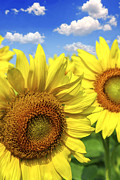 Petal Photo Prints - Sunflowers Print by Elena Elisseeva