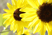 Outdoor Garden Prints - Sunflowers  Print by Les Cunliffe