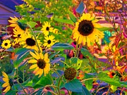 Shirley Moravec - Sunflowers
