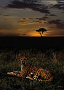 John Hebb - Sunset Cheetah
