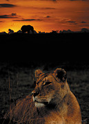 John Hebb - Sunset Lion