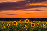 Buttonwood Farm Photo Posters - Sunset over Sunflowers Poster by Michael Blanchette