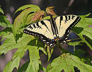 Jim Nelson Posters - Swallowtail Butterfly Poster by Jim Nelson